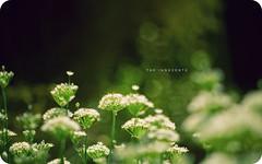 The Innocents (isayx3) Tags: flower green wednesday nikon dof bokeh gorgeous bee mf 365 nikkor f18 135mm innocents erasure plainjoe isayx3