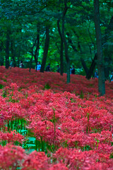 Autumn Forest Filled With Red Spider Lilies (aeschylus18917) Tags: park flowers red flower macro nature japan season 50mm woods nikon seasons d f14 日本 saitama nikkor 花 hanno lycorisradiata spiderlily pxt 公園 higanbana saitamaken koma nikkor50mmf14d amaryllidaceae 50mmf14d 埼玉県 lycoris redspiderlily ヒガンバナ 季節 巾着田 kinchakuda 50mm14d asparagales saitamaprefecture d700 ダニエル danielruyle aeschylus18917 danruyle druyle ルール ダニエルルール 飯能市 hannō hannōshi lycorideae kichakudapark kinchakudapark