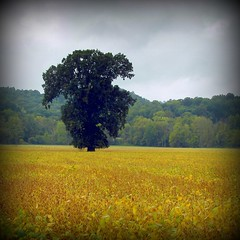 """""""i would become the tree you come home too"""" - runnaway bunny (loweryjes) Tags: sky tree nature leaves rain rural outdoors gold leaf alone shadows natural country hills rainy lone feild vingette loweryjes"""