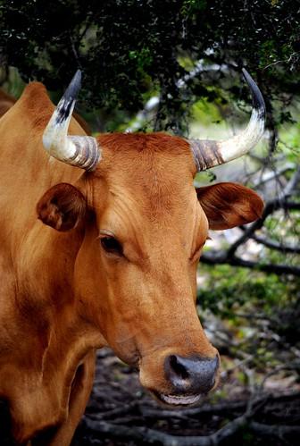 scrub cattle