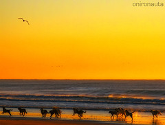 Running Free - Pack of Street Dogs on the beach Part 2 (IN EXPLORE) (Onironauta...) Tags: dog beach dogs argentina backlight interestingness sand buenosaires waves action seagull gull playa arena explore amanecer perros silueta olas mardelplata barking sillhouete mdq mdp runningdogs streetdogs streetdog beachdogs naturesfinest perroscallejeros beachsunrise steetdogs puntamogotes runningfree actiondogs packofdogs sandrog onironauta dogsandbeach amanecerenlaplaya beachbacklight luxtop100 perrosenlaplaya dogsandgull perrosygaviota