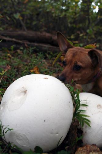 Annie Encounters a Puffball