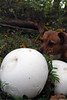 Annie Encounters a Puffball