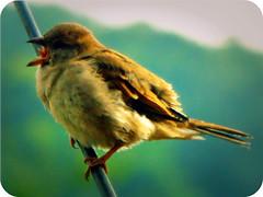 Ding Dong ... O Baby Sing A Song ~ ! (Anuma S. Bhattarai) Tags: nepal plants macro green bird nature garden photography october asia flickr shot singing song cybershot sparrow sing kathmandu hindu soe cyber nepali naturesfinest birdsinging singingbird anuma bhattarai cybershotdsch50 anumabhattarai anumasphotography sparrowsinging