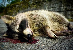 You Were Looking for Me? (Universal Stopping Point) Tags: rotting dead hit blood highway pavement roadkill raccoon roadside bleeding shoulder slightlycroppedcontrastcolorcorrectionsbrightnessslightvignette