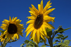 Cal Poly Sunflower (K-Szok-Photography) Tags: california flowers color canon outdoors autumncolors socal sunflowers pomona canondslr calpolypomona naturesfinest supershot adifferentpointofview twtme flowercolors canon1740f4lusmgroup naturallymagnificent aphotographersnature kenszok