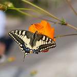One Swallowtail thumbnail