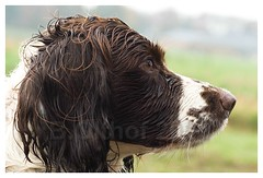 English springer spaniel. Break. (bo foto) Tags: dog dogs nikon hunting hond hund spaniel springer springerspaniel flint hunde hunt chiens chasse dogphotography englishspringerspaniel honden workingdog workingdogs jagen jacht jagdhund d80 nikond80 thelittledoglaughed dogpic dogphotographer jachthond chasser jagdhunde jachthonden engelsespringer bofoto hondenfotograaf engelsespringerspaniel hondenfotografie boudewijnolthof