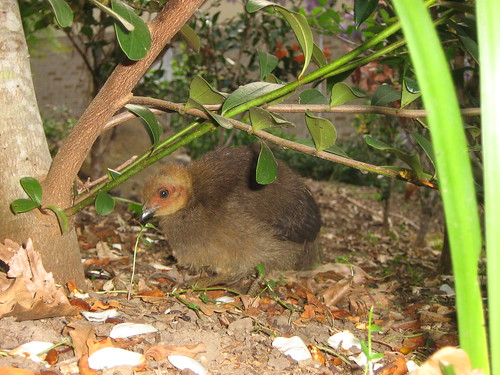 Australian Brush-turkey chick