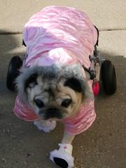 Fast Pug!