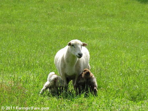 Mother's Day Sheep