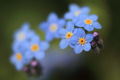 Forget-me-not (Apricot Cafe) Tags: blue flower green yellow japan purple f28 tokyo東京 yakushiikepark薬師池公園 forgetmenotワスレナグサ canonef100mmf28lmacroisusm