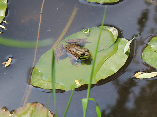 Chillin' By the Pond - Frog