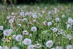 Dandelion meadow (mattharvey1) Tags: france dandelion normandy lessay dandelionmeadow dandlelions