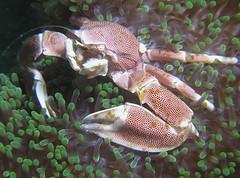 Porcelain Crab, Fim do Mundo