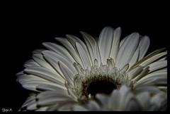 Gerbera (Free 2 Be) Tags: wedding bw white flower blossom gerbera daisy