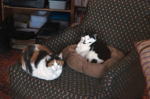 cat catloaf calicocat blackandwhitecat manxcat calicomanxcat