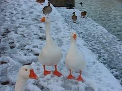 Snow Geese (theangelas) Tags: snow snowgeese iffleylock snowfeb09