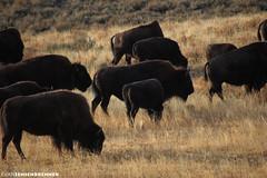 Bison Herd (Evan S. Photography) Tags: camping grass photoshop nikon eating wildlife tripod adventure yellowstone bison fallbreak 55200mm d40 fall2008 yellowstoneweekend