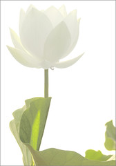 White Flower (Lotus) - IMGP5101-V1 (Bahman Farzad) Tags: white flower macro fleur de whiteflower lotus calming therapy elegant simple   lotusflower therapist flowerwhite lotuspetal  whitelotusflower lotuspetals  lotosblume   lotusflowerwhite lotusflowerpetals lotusflowerpetal