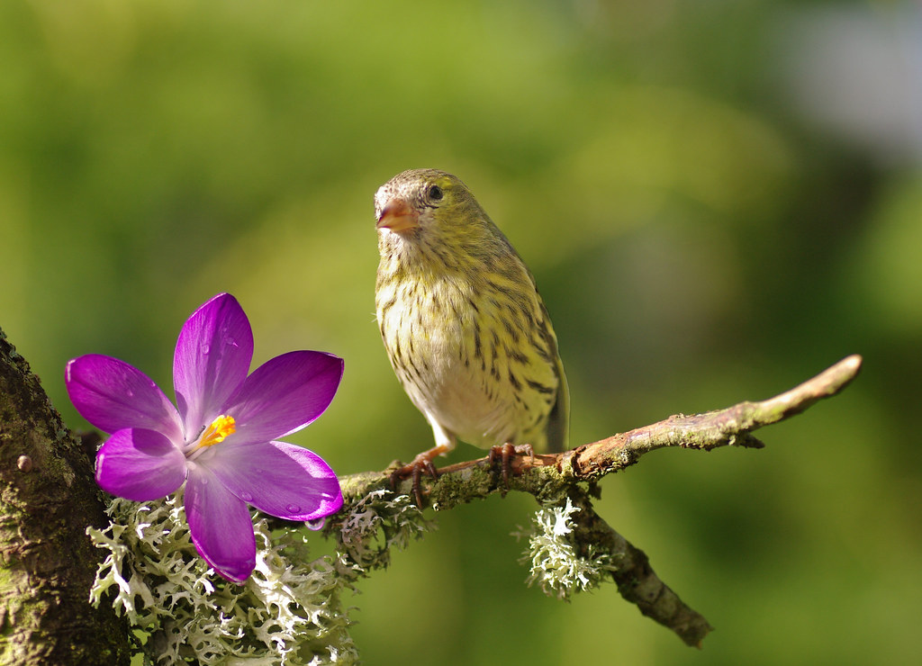 Siskin with crocus