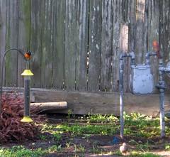house home birds backyard birdies orchardoriole