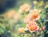 Peachy Keen (mjmatt) Tags: roses botanicalgardens vosplusbellesphotos betharmsheimertexture