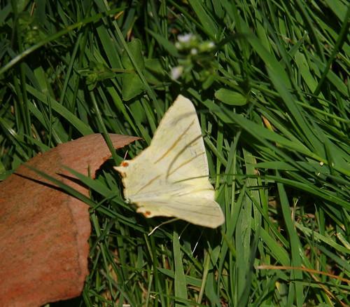 Swallowtailed Moth (Ourapteryx sambucaria)