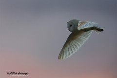 Barn Owl Tyto alba hunting at dusk (Nigel Blake, 2 million views Thankyou!) Tags: pink sunset sky bird birds barn canon grey fly flying purple alba dusk norfolk hunting flight owl blake nigel ornithology fakenham tyto digitalcameraclub eos1dsmkiii 600mmf4is
