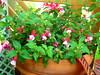 Pink Fuchsia (boisebluebird) Tags: flowers summer plants flower beauty garden design flora gardening fuchsia boise patio fiore luxury gardendesign michaeltoolson boisebluebirdcom httpwwwboisebluebirdcom boiselandscaping boisegardener