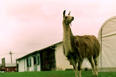 Llama Look (Zabowski) Tags: animal mammal newjersey farm llama beast warrencounty whitetownship