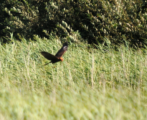 marsh harrier4
