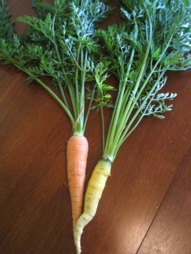 St. Valery Carrot (orange) and Amarillo Carrot (yellow)