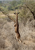 Gazelle girafe gerenuk standing - Kenya (Eric Lafforgue) Tags: africa kenya culture tribal tribes afrika tradition tribe ethnic tribo afrique ethnology tribu eastafrica quénia 8731 lafforgue ethnie ケニア quênia كينيا 케냐 кения keňa 肯尼亚 κένυα кенија кенијa