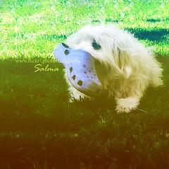 :P   ...       (Salma Alzaid ) Tags: blue summer lebanon hairy dog white green beautiful beauty grass garden hair fun shoe holding backyard pretty play flat small adorable fluffy bark tiny short poppy bite doggy bushes 2009 salma sandle askme   mlg0o0fa salmaphotography httpwwwformspringmemlg0o0fa