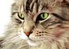 Floris up close again (Cajaflez) Tags: portrait pet cute closeup cat kat chat maine longhair gato coon katze portret gatto kater cc800 cc700 cc400 cc300 cc200 cc100 cc500 cc600 velvetpaws pet100 natureselegantshots catmoments vosplusbellesphotos saariysqualitypictures thebestofmimamorsgroups newgoldenseal ppf200911 ppn200911