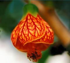 flores: lanterna chinesa (Edison Zanatto) Tags: brazil naturaleza flores flower southamerica nature brasil nikon dof natureza natur flor sininho  blume nikonn90s americadosul sdamerika campainha abutilonstriatum lanternajaponesa fujicolorprovalue200 lanternachinesa filme35mm continentesulamericano edisonzanatto