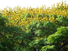 "Sibipiruna ""Caesalpinia peltophoroides"" Brazilian"
