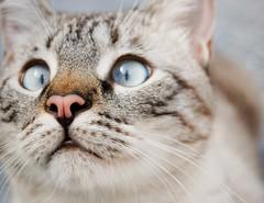 A kiss :) (Ndia Monteiro) Tags: animal cat chat olhos lindo gato felino niko fotografia fofo gatto cor nariz gatinho aores focinho smiguel ndia achadinha
