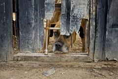 junkyard dog (umbra101) Tags: urban southafrica candid kwazulunatal guateng djw kzn umbra u101 londonphotography urbanumbra umbradomini djwasu101