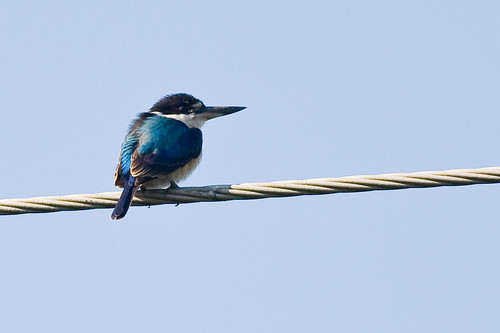 Forest Kingfisher ?