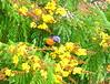 Colourful Australians - Red-collared Lorikeet (Trichoglossus rubritorquis) (Kumukulanui) Tags: northernterritory australia darwin tiwi redcollaredlorikeet trichoglossusrubritorquis yellowflametree copperpod yellowpoinciana peltophorumpterocarpum