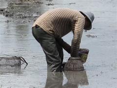Serkap Ikan @ Sawah Padi (omaQ.org & Red Frame Memories) Tags: padi ikan sawah serkap