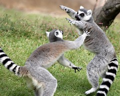 Ring tailed lemur (floridapfe) Tags: animal zoo monkey fight nikon korea everland ringtailedlemur  d80