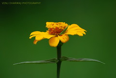 Beauty of Symmetry!!! (Venu Dharmaji (a bit busy...)) Tags: flower green colors yellow nikon bokeh smooth sigma explore hyderabad hpc excellence osmania andhrapradesh nikond60 sigma70300mmapodgmacro osmanialandscapegarden