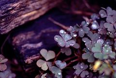 I'm Better Off When I Hit the Bottom. (Aubirdy) Tags: wood macro nature wet droplets cool nikon dof purple bokeh raindrops tamron 90mm tones clovers d60 bokehlicious aubirdy bokehrama bokehwednesdayeve hbwe
