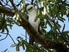 Sulawesi Hawk eagle (Spizaetus lanceolatus) (Bram Demeulemeester - Birdguiding Philippines) Tags: indonesia sulawesi tangkoko sulawesihawkeagle spizaetuslanceolatus bramdemeulemeester nisaetuslanceolatus