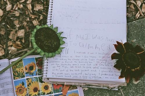 homeschool project: sunflowers