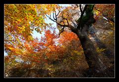 Udazkeneko koloreak (koldoc) Tags: autumn trees fall colors leaves hojas arboles colores otoo euskalherria basquecountry navarra pasvasco ramas adarrak nafarroa 10mm zuhaitzak urbasa udazkena koloreak hostoak efs1022mmf3545usm eos40d bakedao amezkoabehekoa
