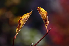 Twin ( Spice (^_^)) Tags: autumn shadow red brown plant color macro green art fall nature leaves yellow japan canon geotagged asian photography eos lights photo leaf interesting stem colorful flickr image photos bokeh details picture vivid blogger autumnleaves september livejournal explore photograph  safe portfolio vox    gettyimages fallenleaves facebook  friendster multiply   9       twitter canoneos50d   2009
